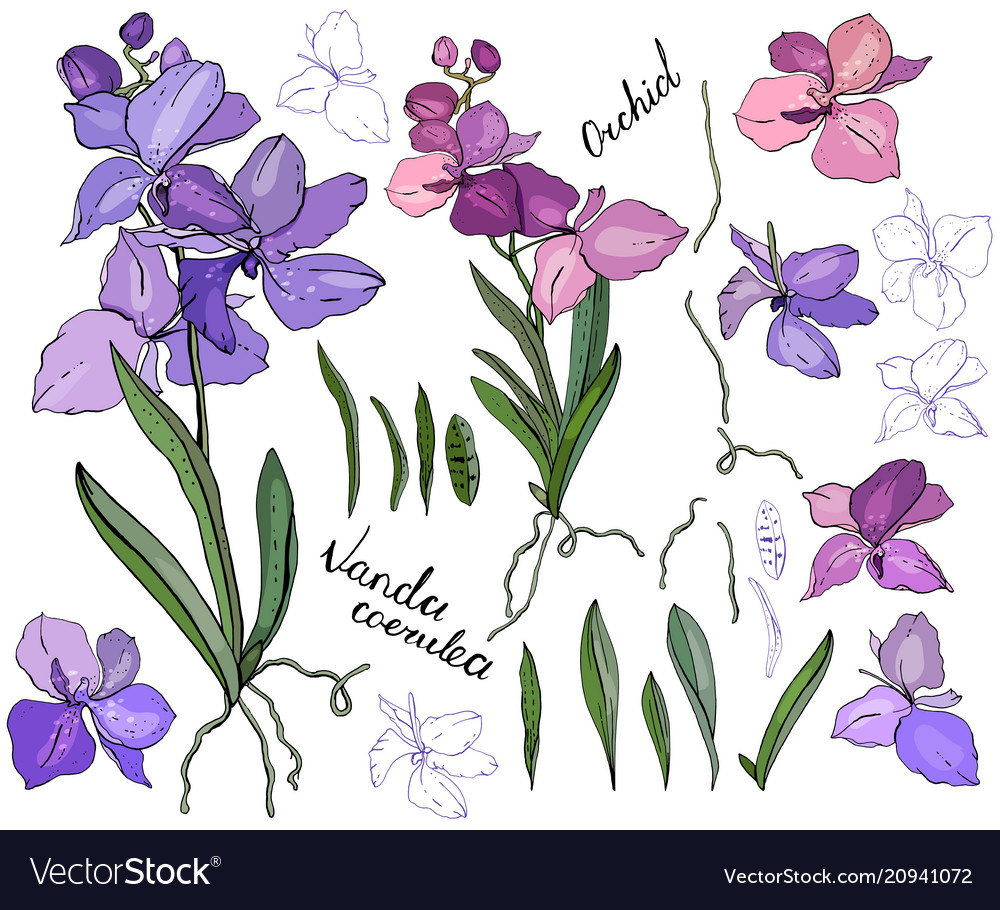 Isolated orchid vanda on white different color
