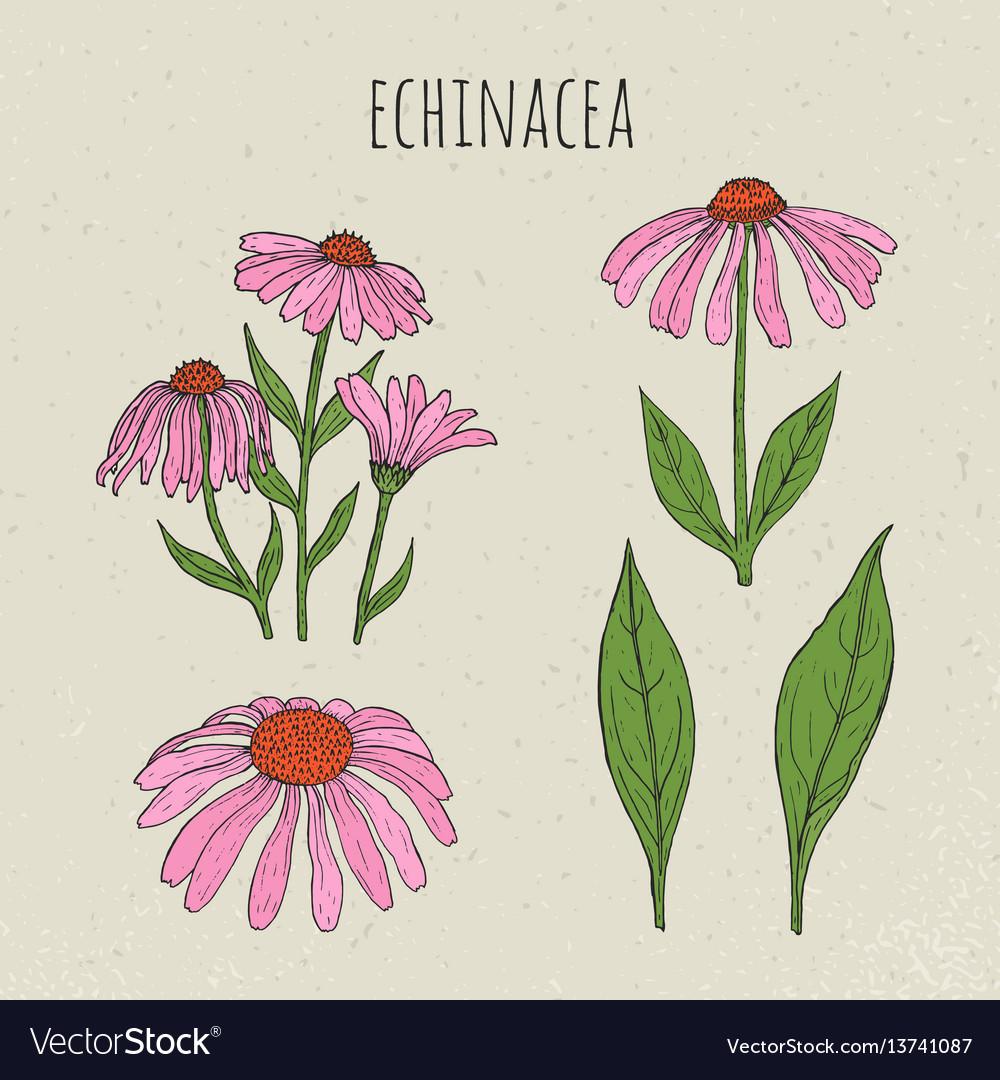 Echinacea medical botanical isolated