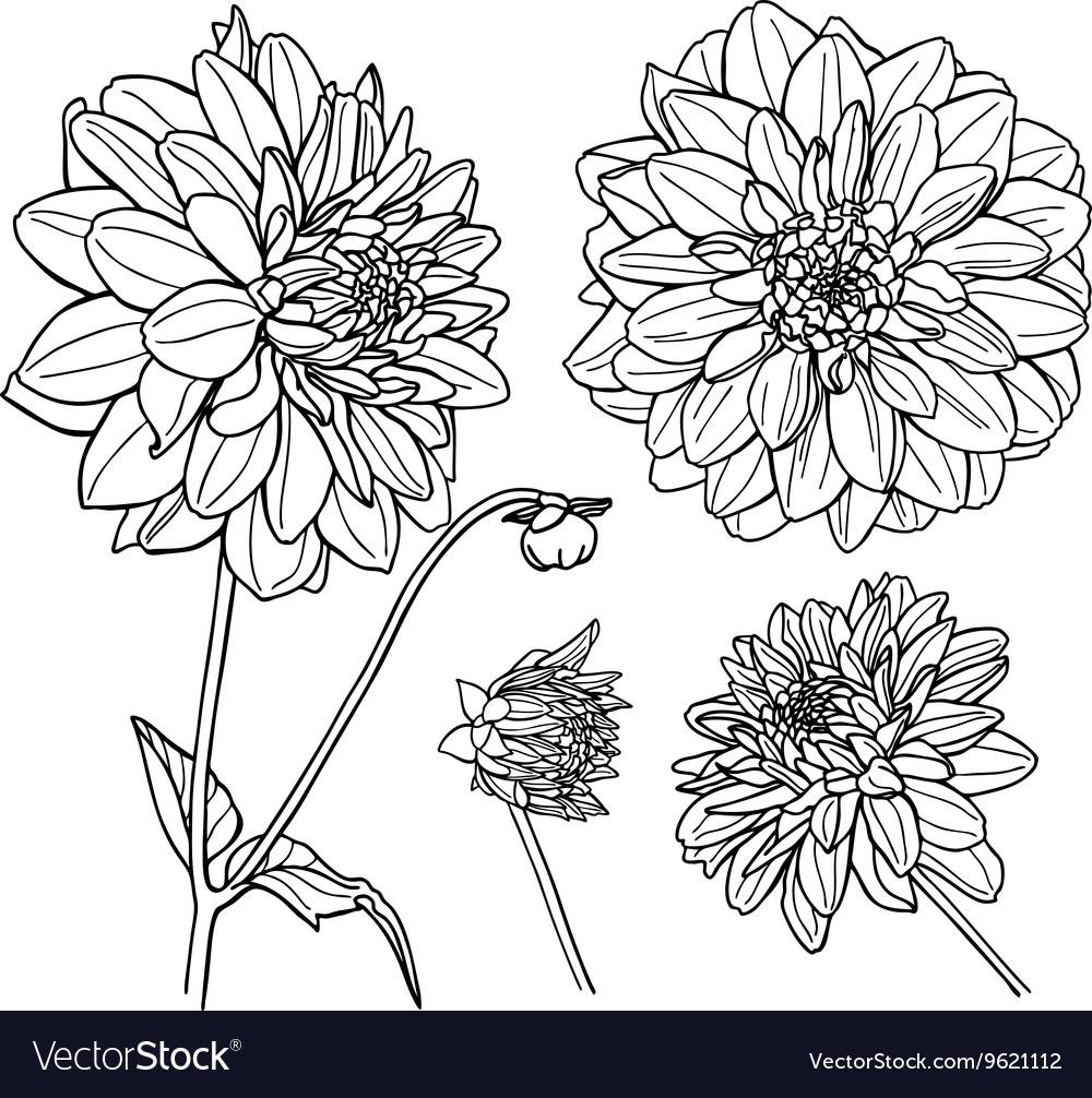 Dahlia Flower Set Line Art Royalty Free Vector Image