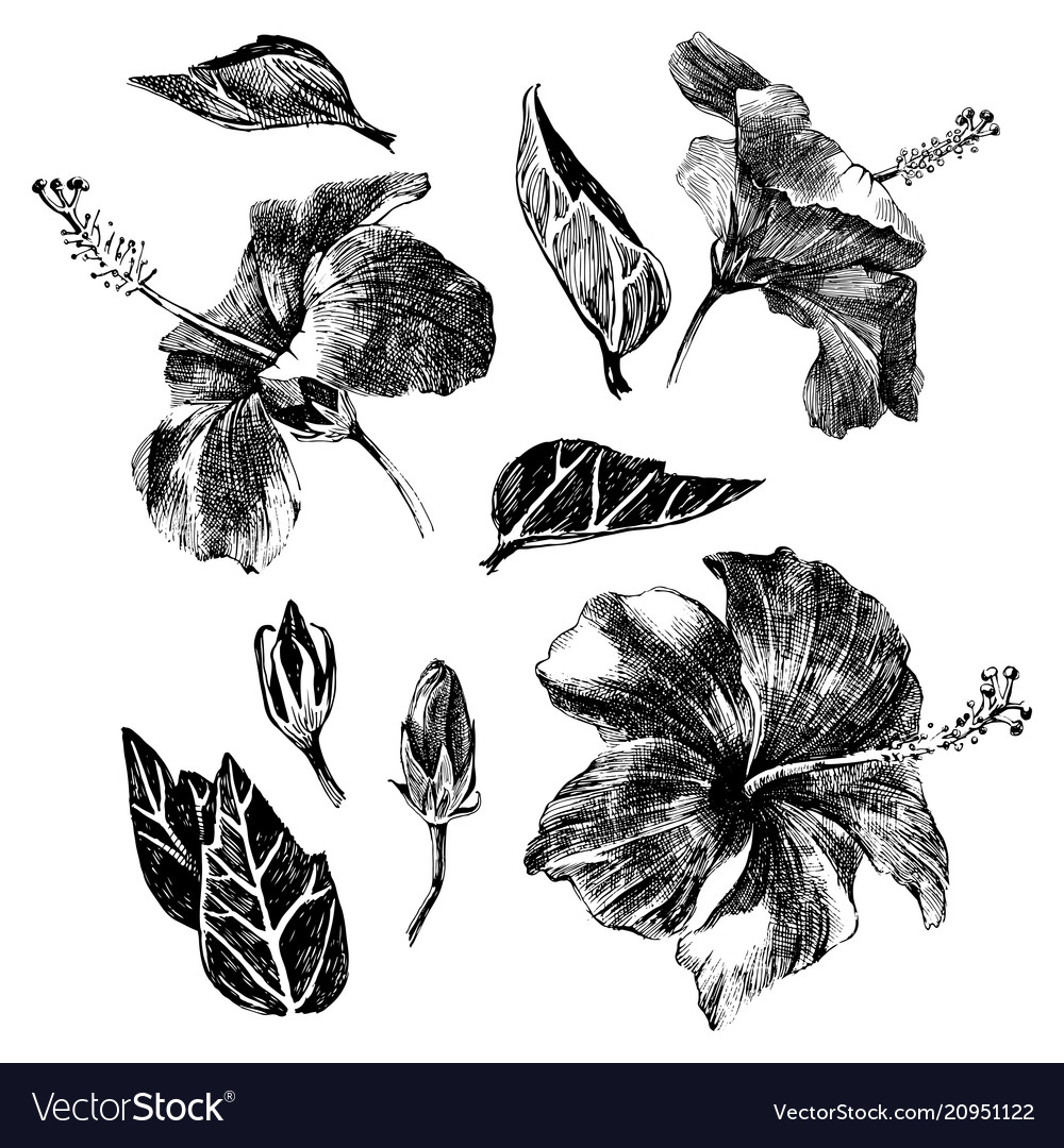 Hand drawn hibiscus leaves flowers and buds
