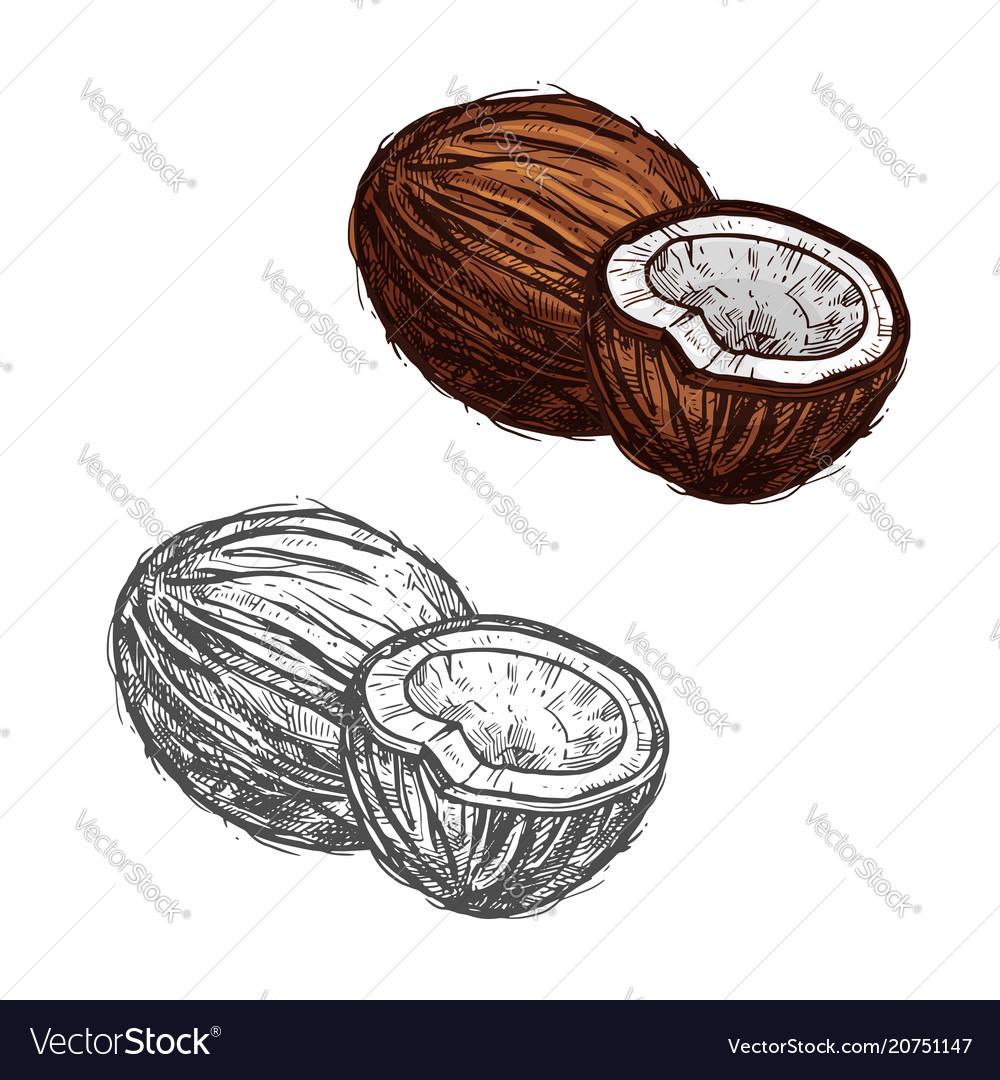 Coconut fruit of tropical palm sketch food design vector image
