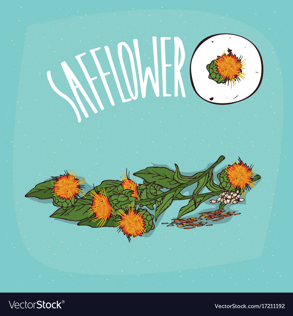 set of isolated plant safflower flowers herb vector image