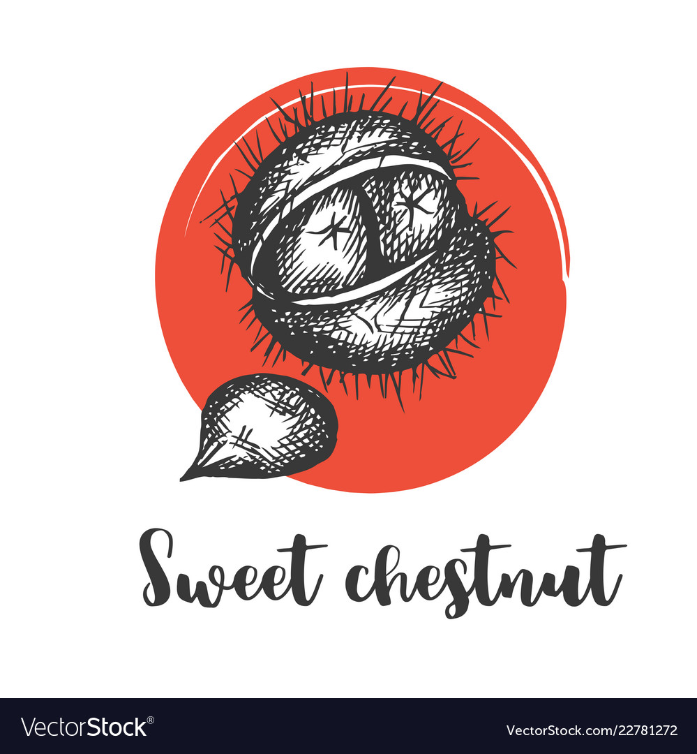 Sweet chestnut isolated sketchy style