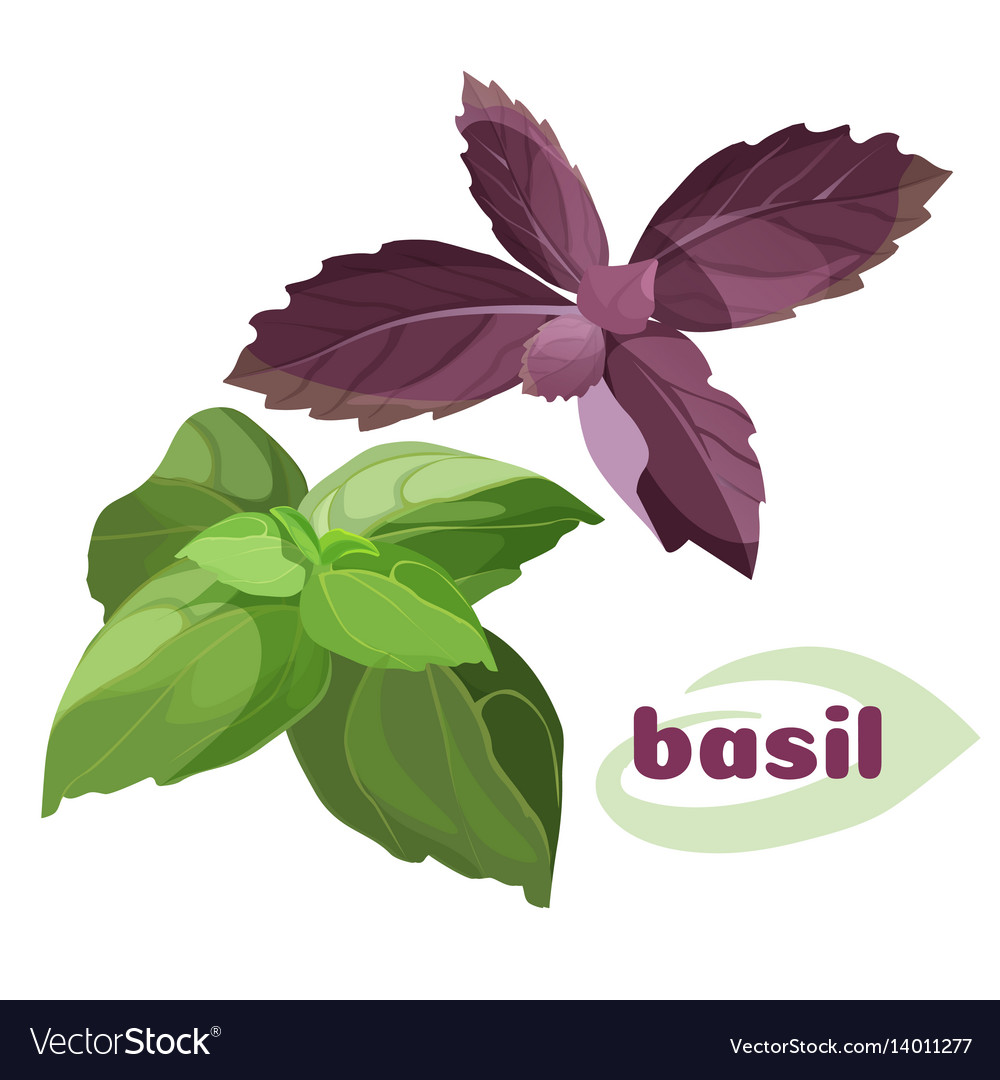 Fresh Basil Leavesi Green Purple Color Bunches Vector Image