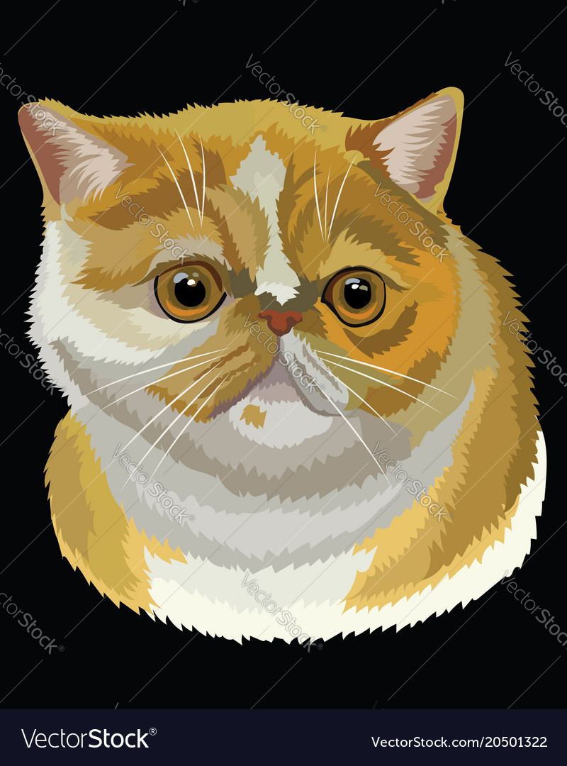 Colored exotic shorthair cat
