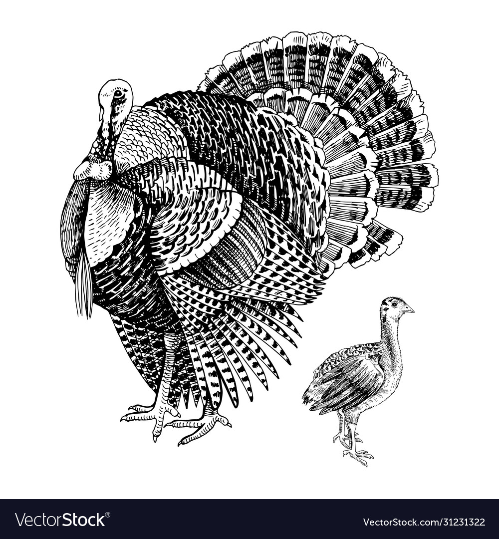 Hand drawn turkey and poult