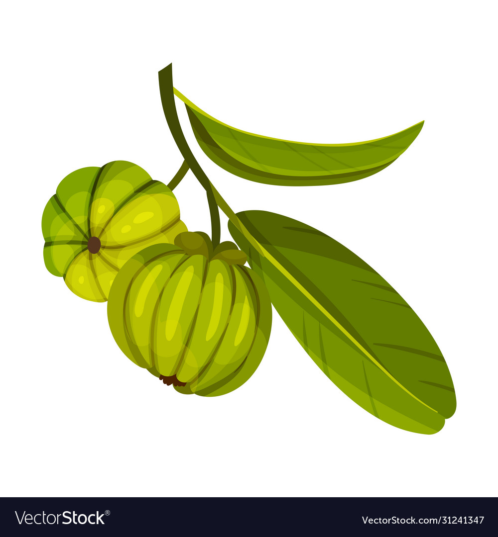 Garcinia Cambogia Fruit Looking Like Small Green Vector Image