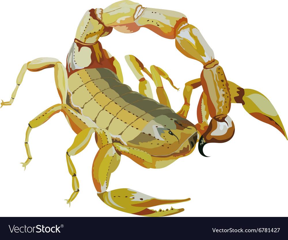 Common yellow scorpion vector image