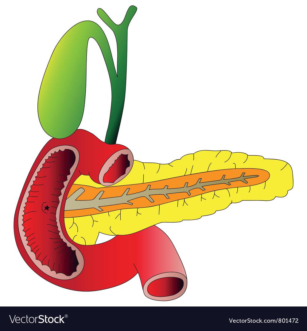 Human Digestive Organs The Pancreas Gallbladder Du