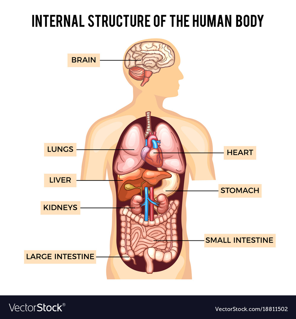 Human body and organs systems infographic Vector Image