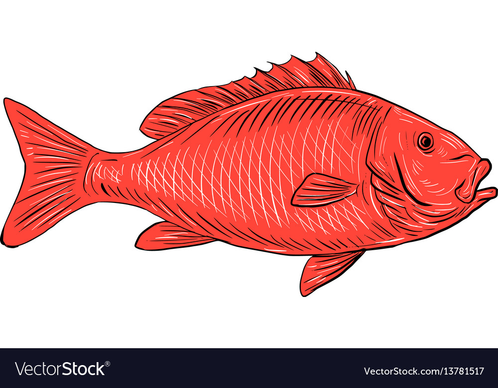 Australasian snapper swimming drawing vector image