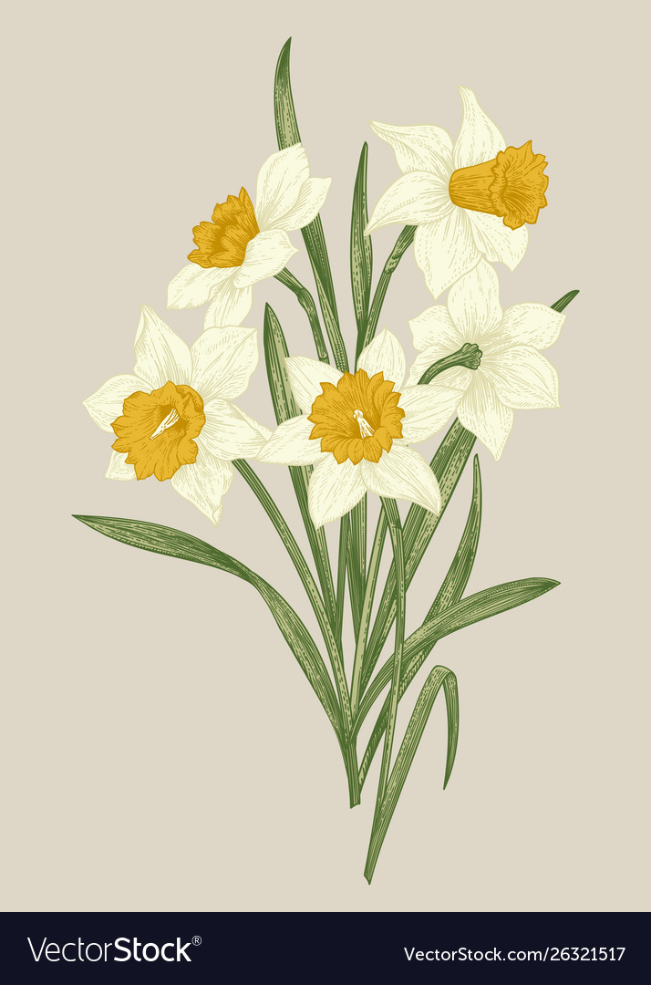 Spring Flowers Daffodils Royalty Free Vector Image