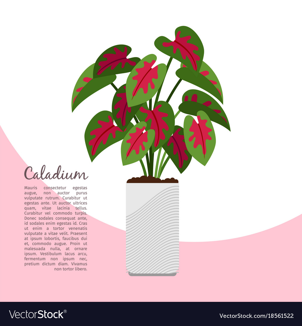 Caladium indoor plant in pot banner