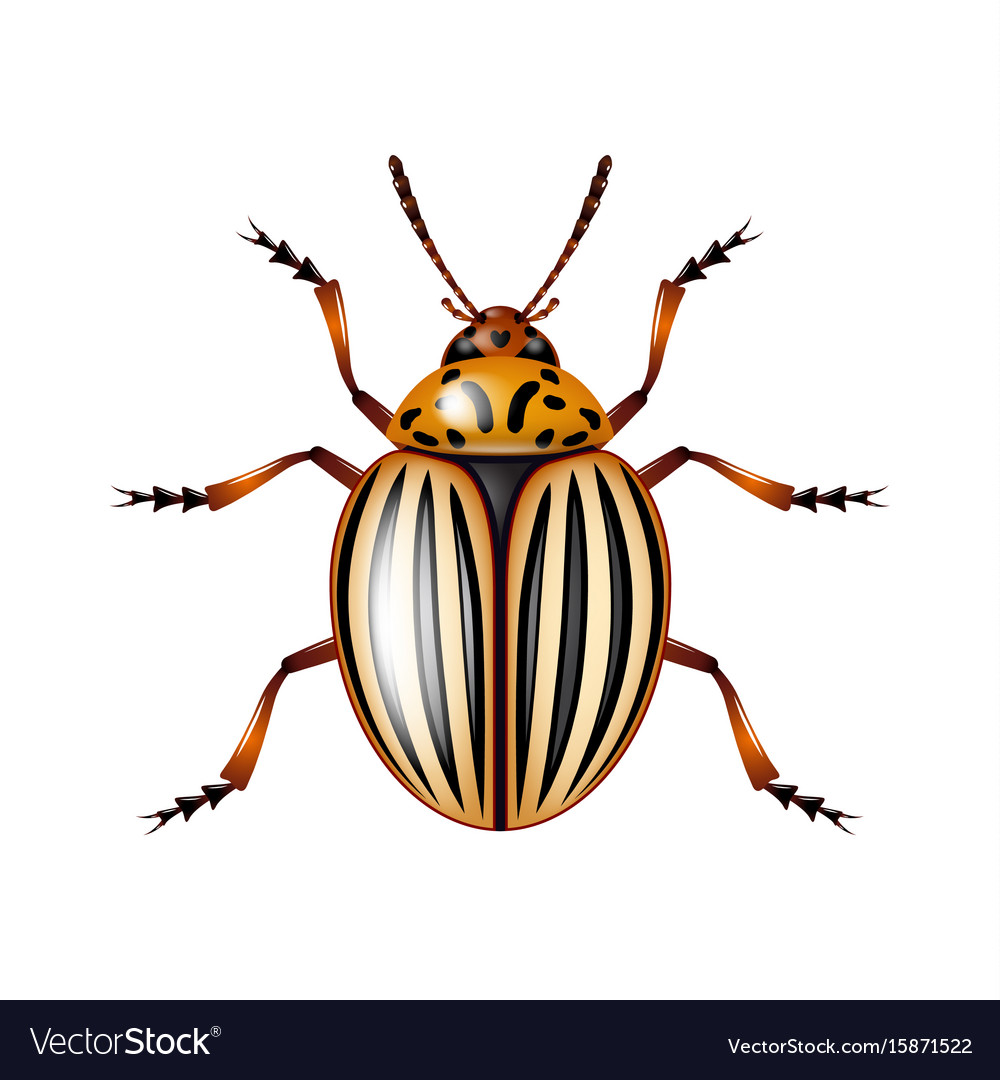 Colorado beetle isolated on white