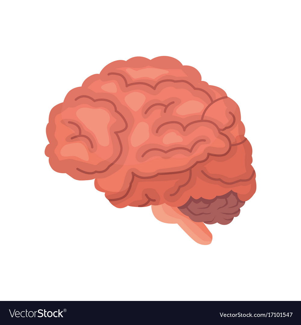 Human Brain Anatomy Cartoon Icon Isolated Vector Image