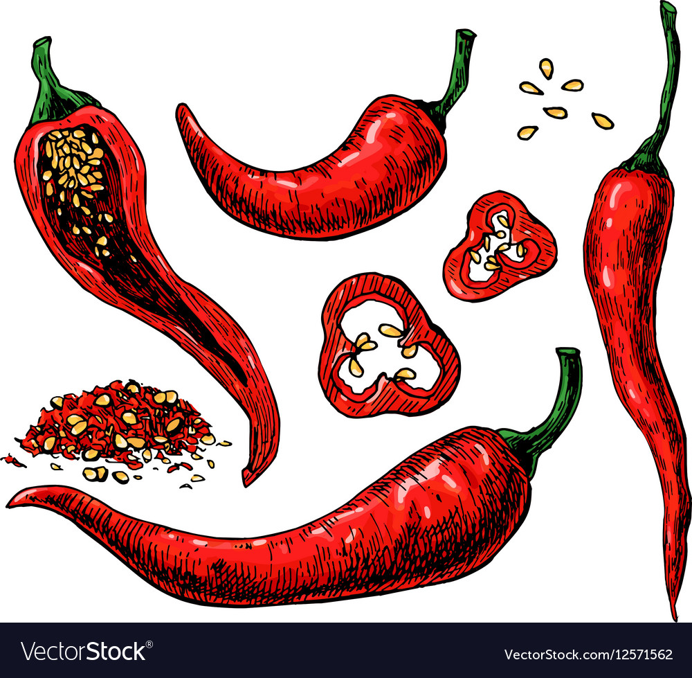 Chili Pepper hand drawn vector image