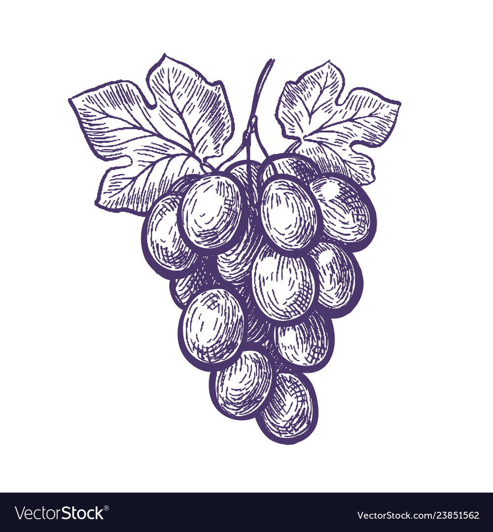 Hand drawn bunch of grapes fruit vineyard wine