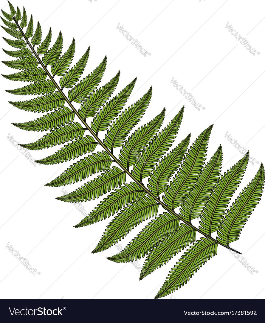 Color image fern leaf Royalty Free Vector Image