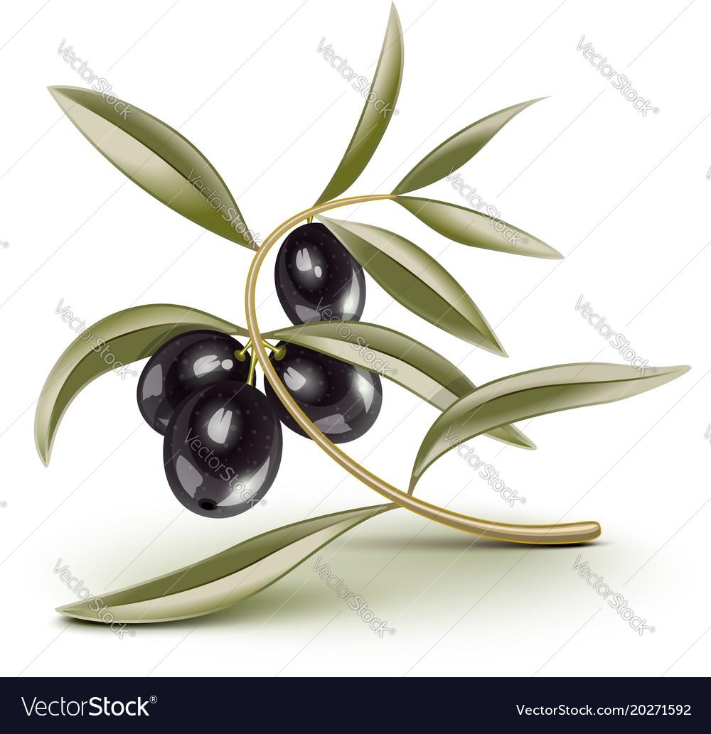 Transparent editable black olives branch vector image