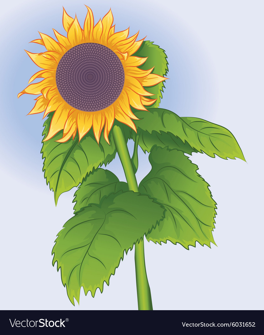 Blossoming flower sunflower