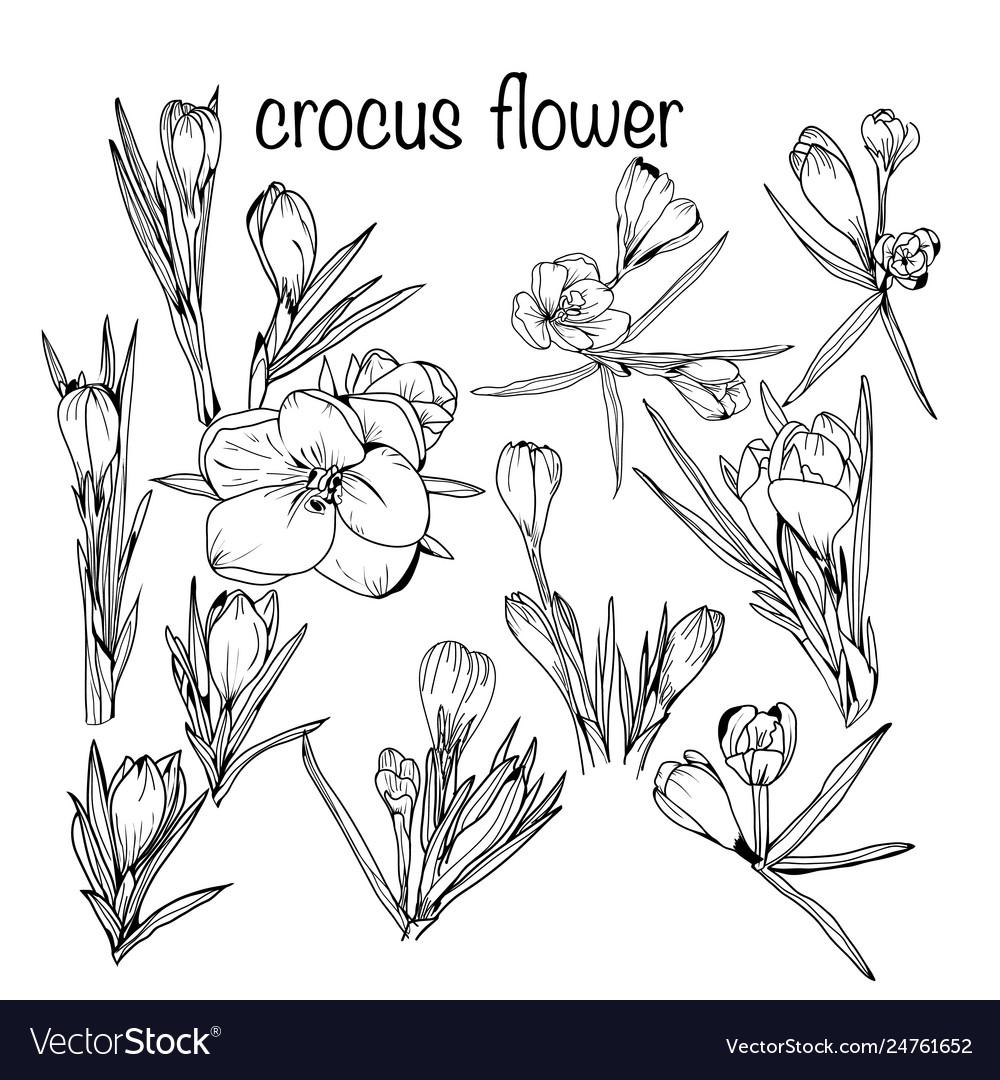 Set crocus spring flowers black and white