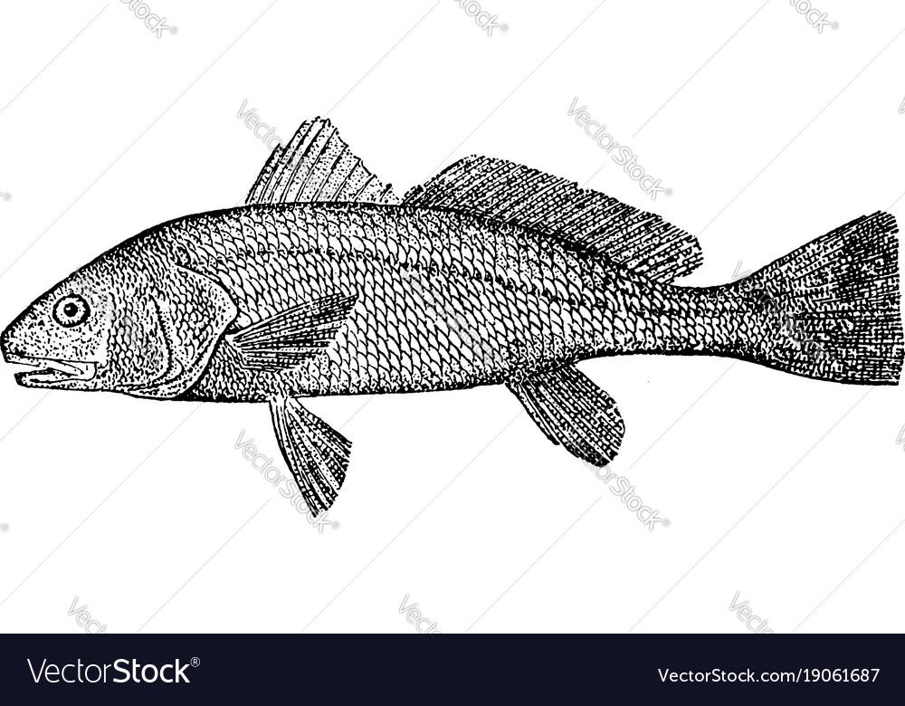 Redfish vintage