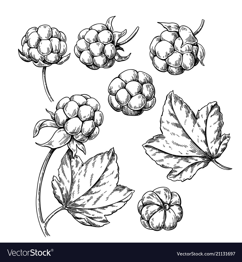 Cloudberry drawing organic berry food