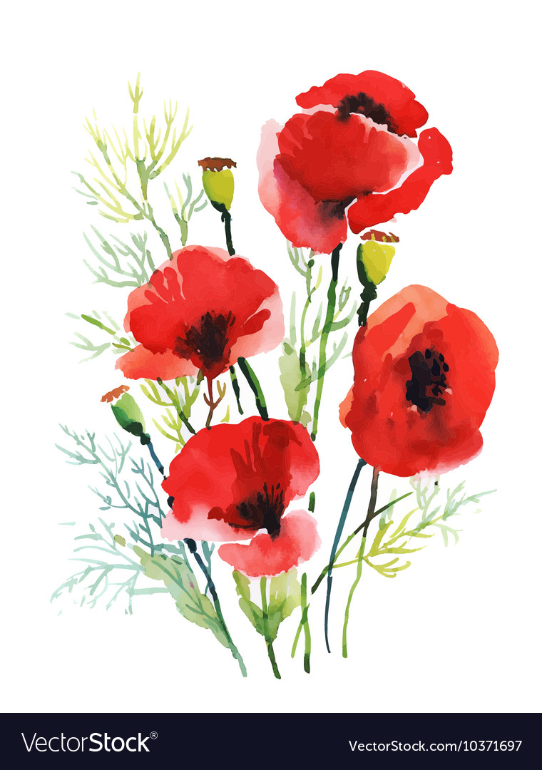 Red watercolor poppies flowers isolated on white vector image mightylinksfo