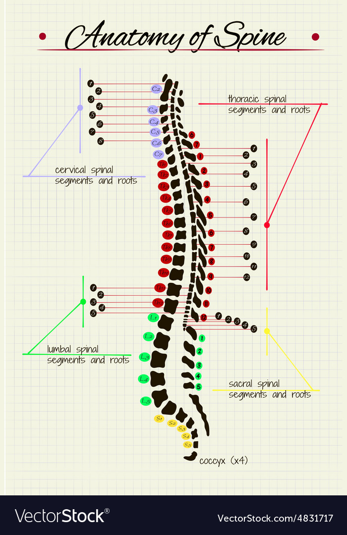 Spinal cord anatomy Royalty Free Vector Image - VectorStock