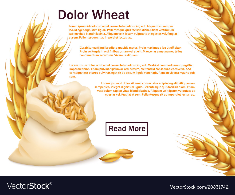 Realistic wheat grains and ears isolated on white