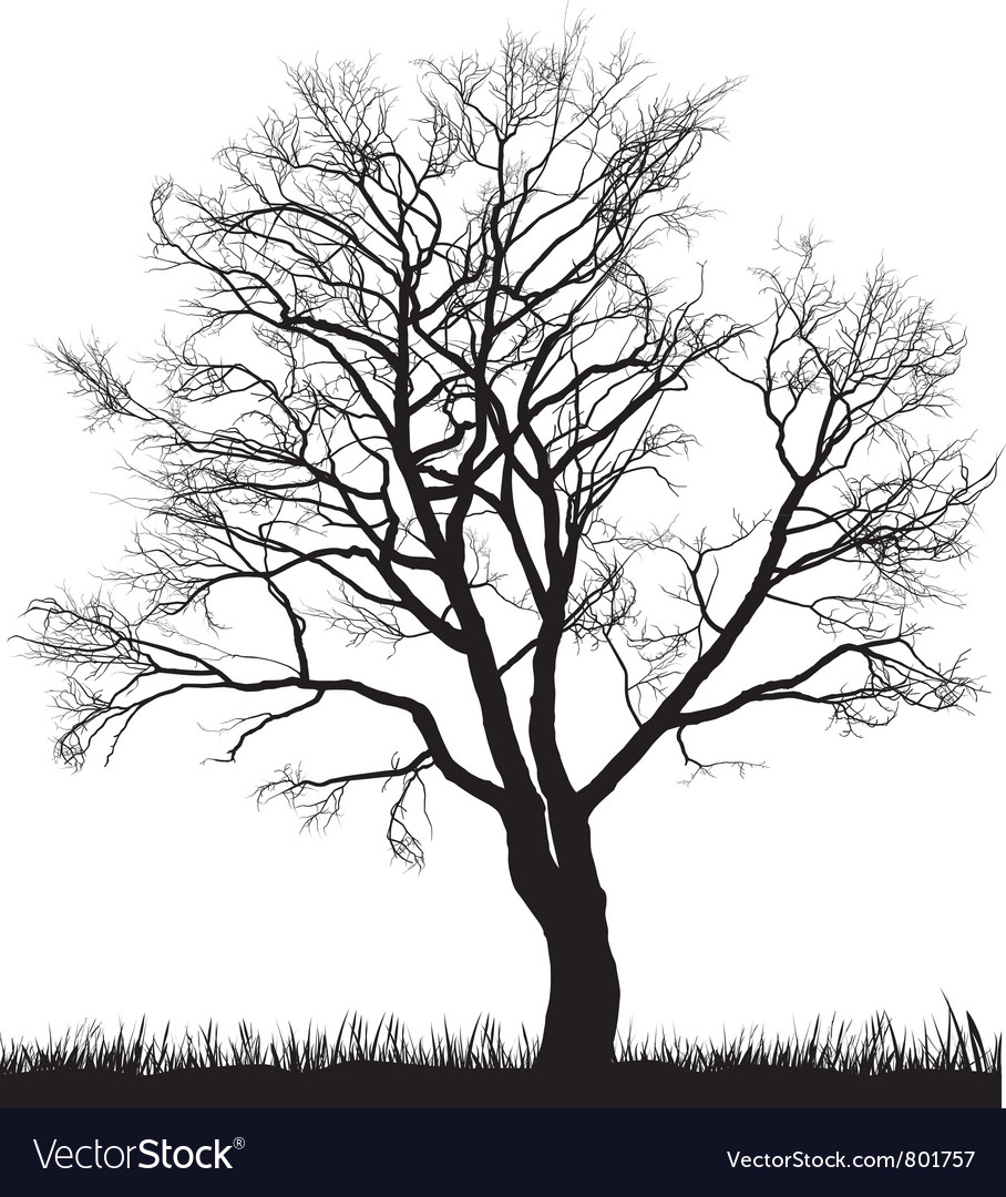 Walnut tree in winter