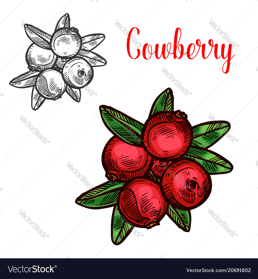 Cowberry sketch fruit berry icon Royalty Free Vector Image