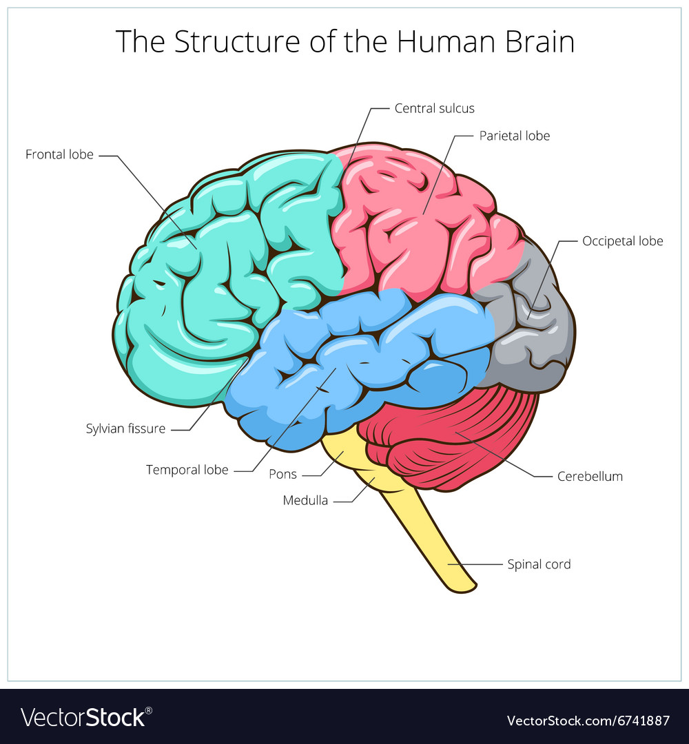 Structure of human brain schematic royalty free vector image structure of human brain schematic vector image ccuart Gallery