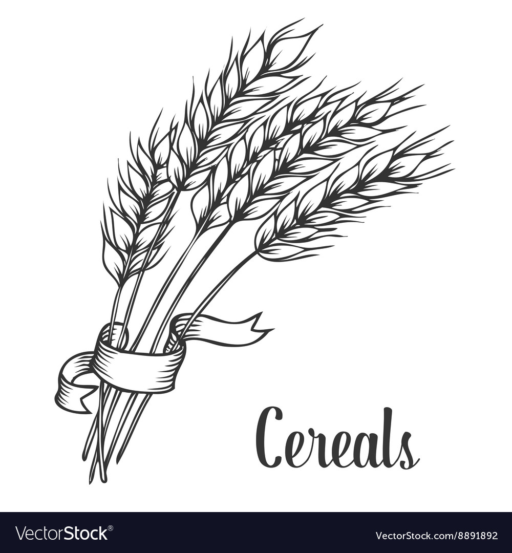 Wheat bread ears cereal crop with ribbon sketch