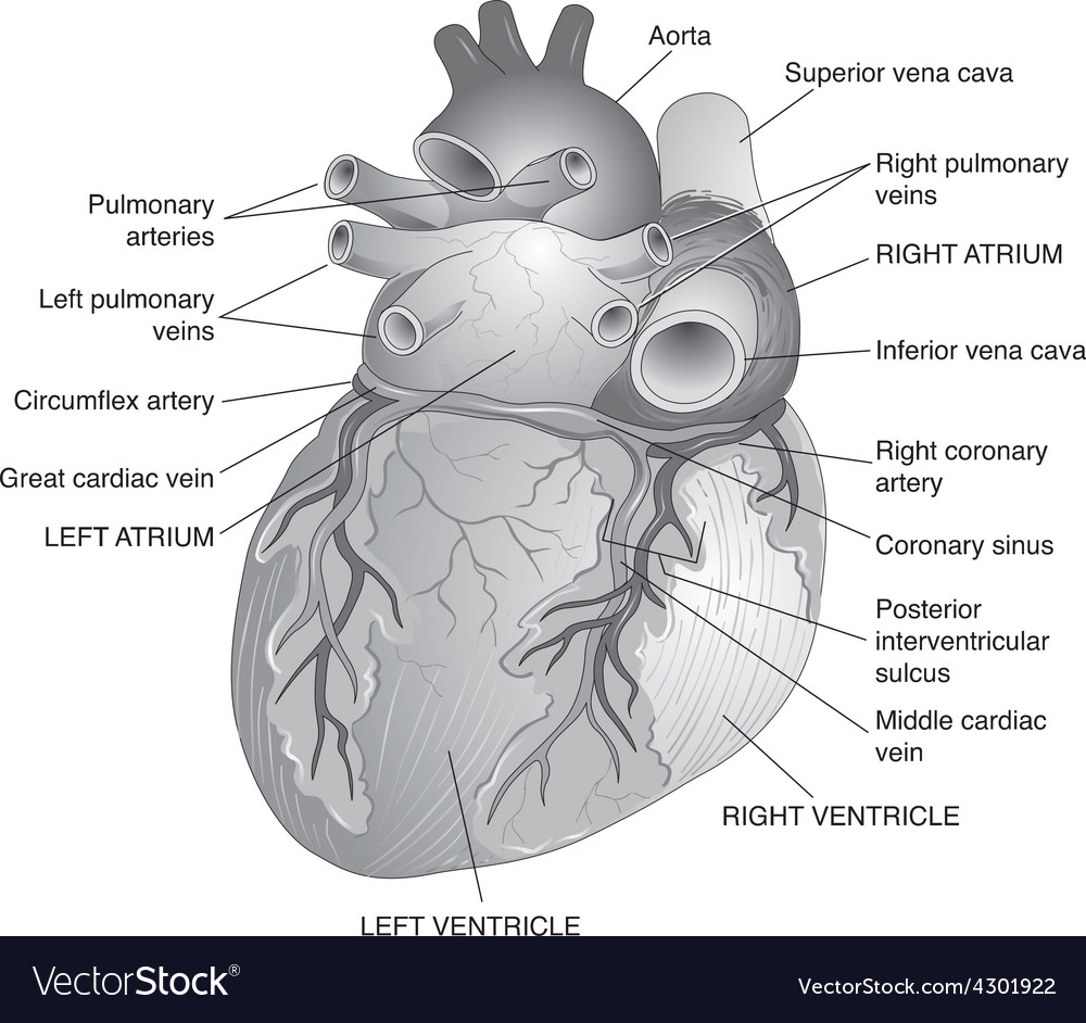Posterior view of the human heart royalty free vector image posterior view of the human heart vector image ccuart Images
