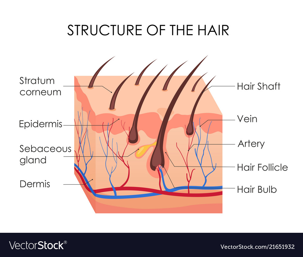 human hair diagram piece vector image