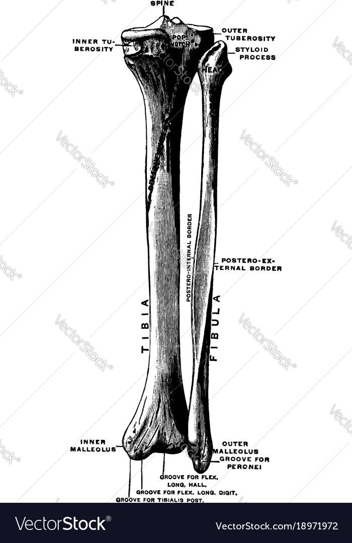 Bones Of The Lower Leg Vintage Royalty Free Vector Image