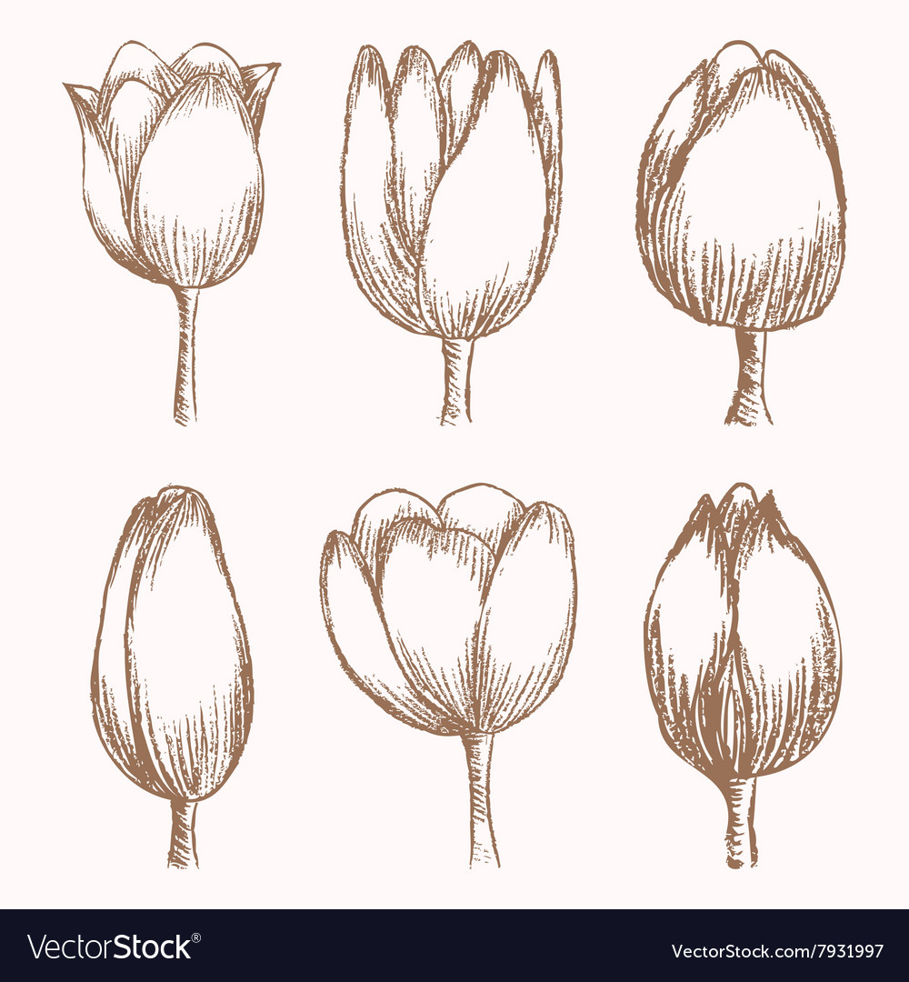 Hand drawn tulips at different stages of growth