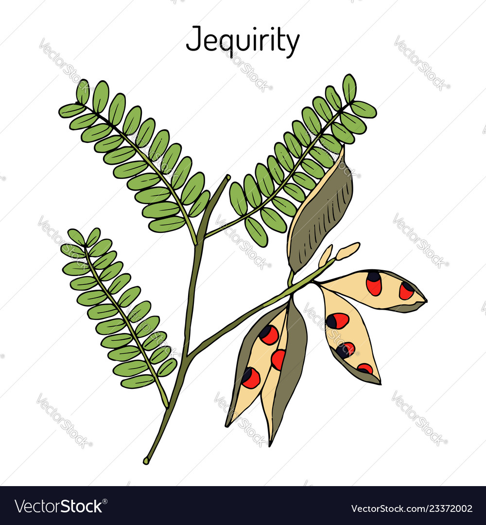 Jequirity Abrus Precatorius Or Crab Eye Creeper Vector Image