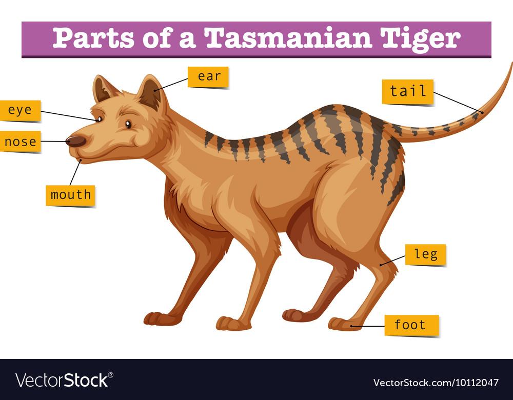 Tiger mouth diagram auto electrical wiring diagram diagram showing parts of tasmanian tiger vector image rh vectorstock com tongue diagram teeth diagram ccuart Images