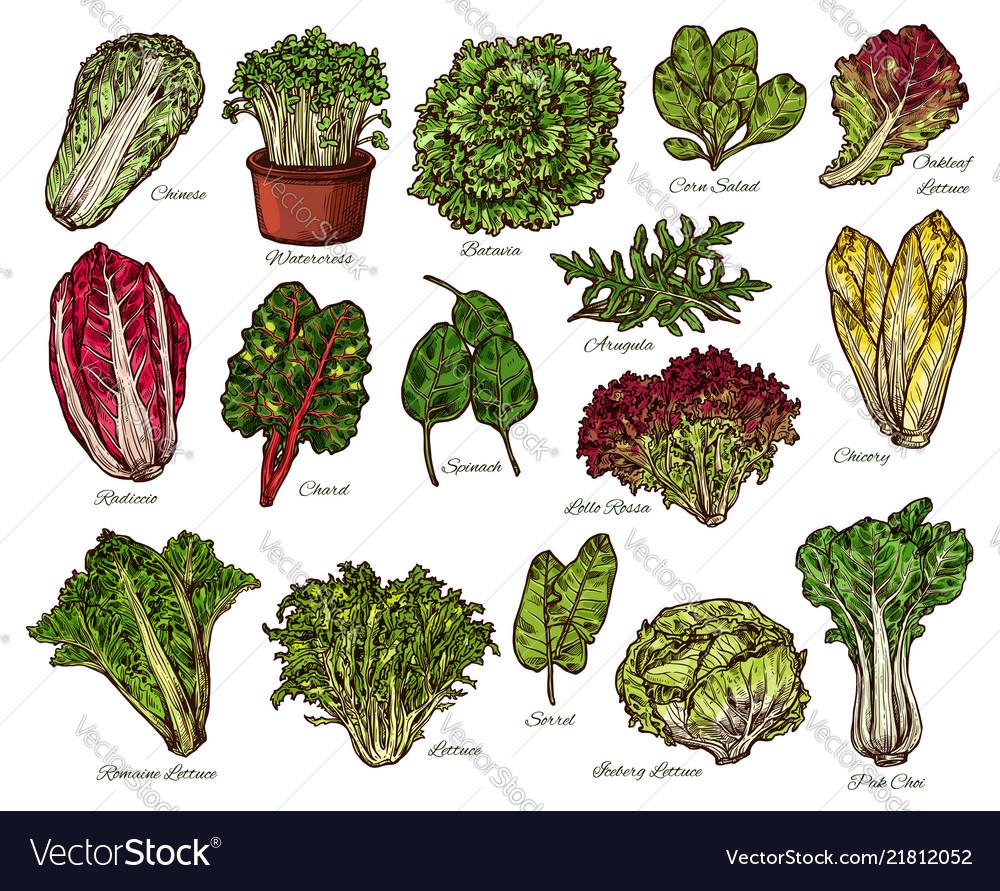 Salads and farm lettuce vegetables sketch