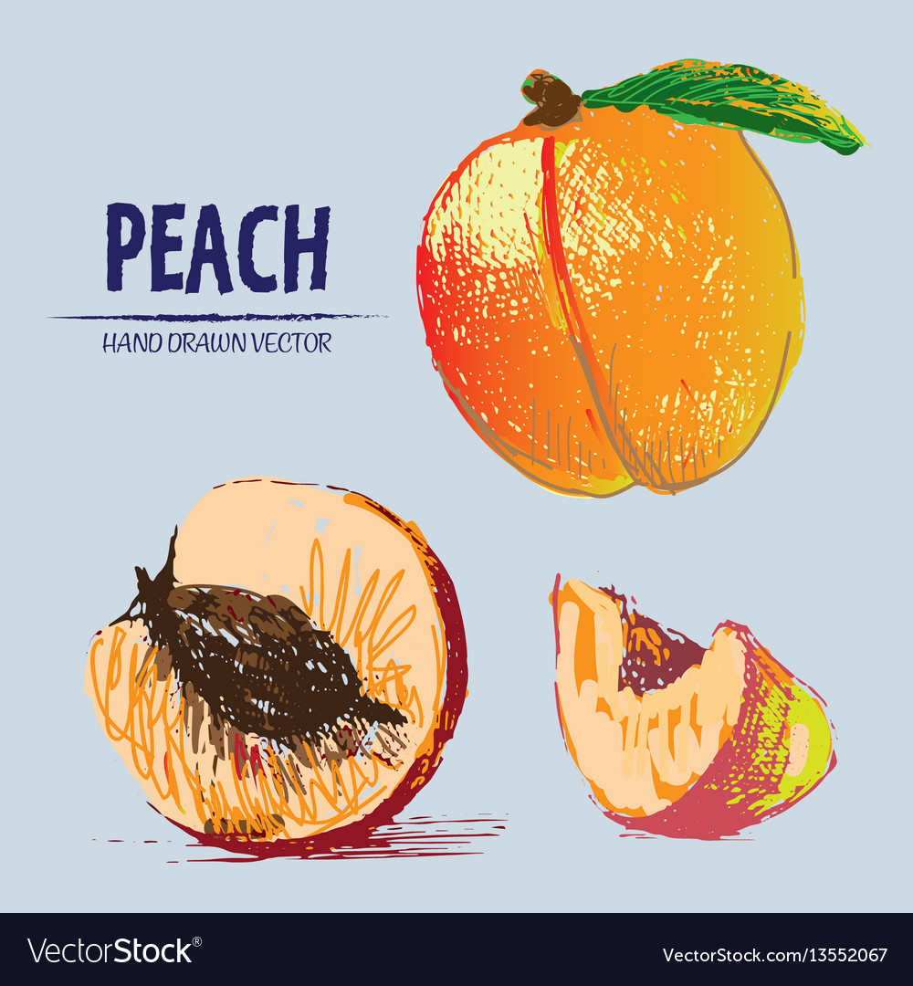 Digital detailed color peach hand drawn vector image