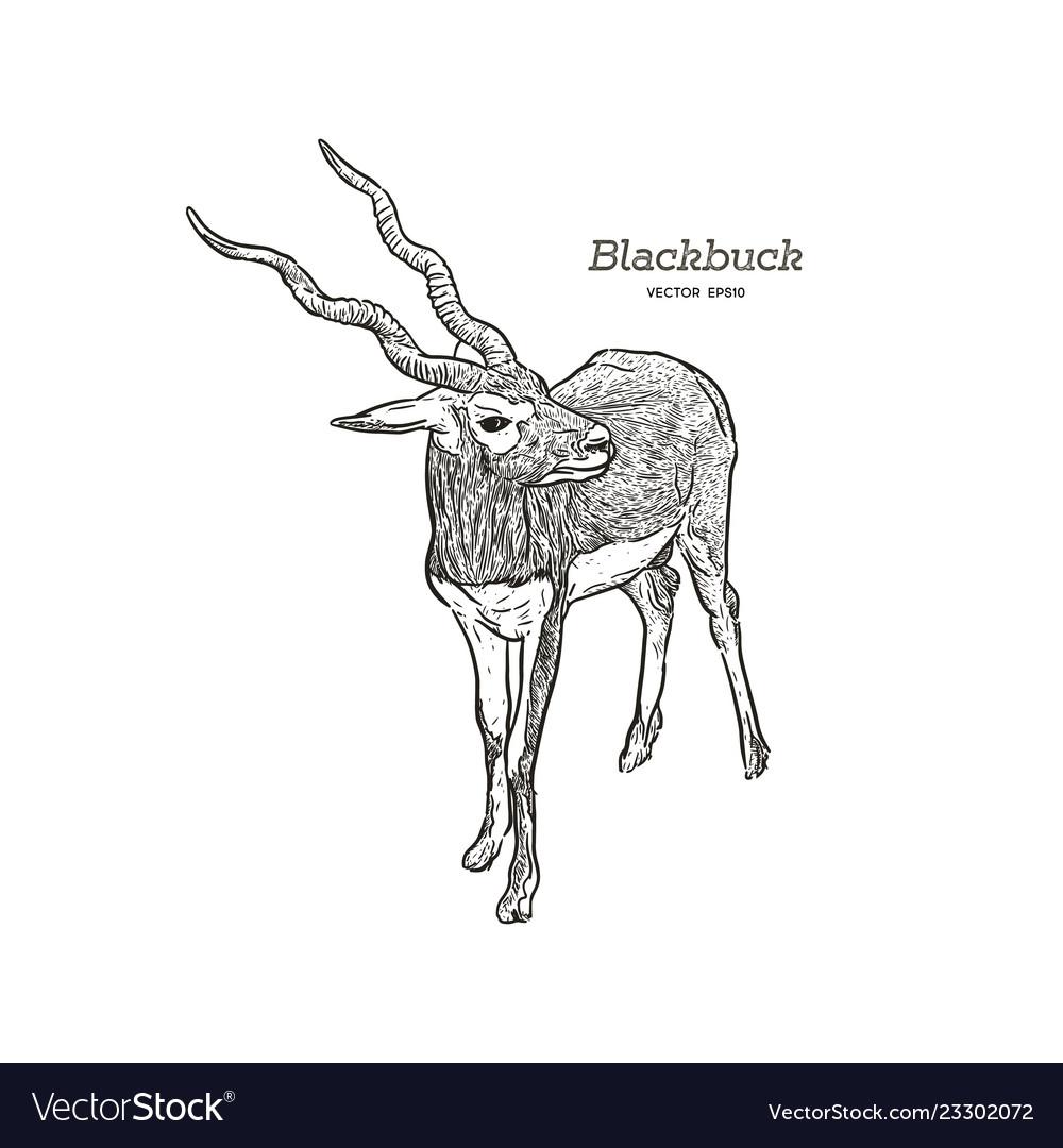 Antelope series blackbuck