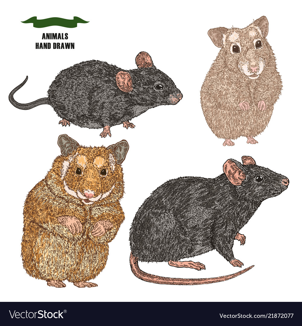 Hand drawn rat mouse and hamsters colored sketch