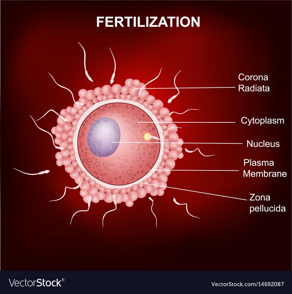 Image result for fertilization