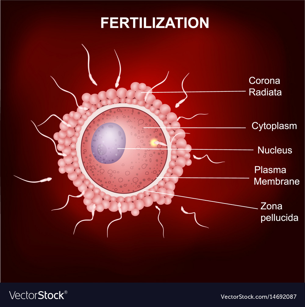 Human Fertilization Insemination Of Human Egg Cel Vector Image