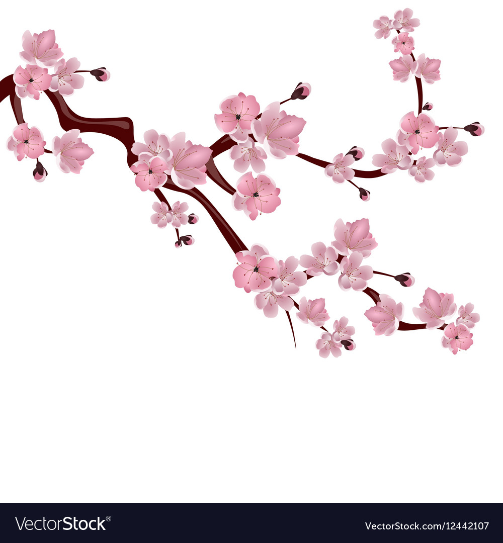 Japanese Cherry Tree A Branch Of Pink Cherry Vector Image