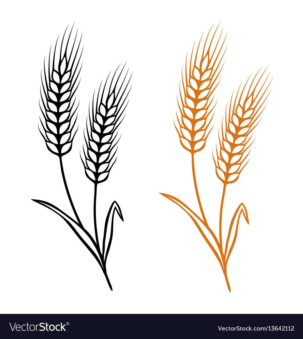 ears of wheat royalty free vector image vectorstock rh vectorstock com wheat vector free download wheat vector free