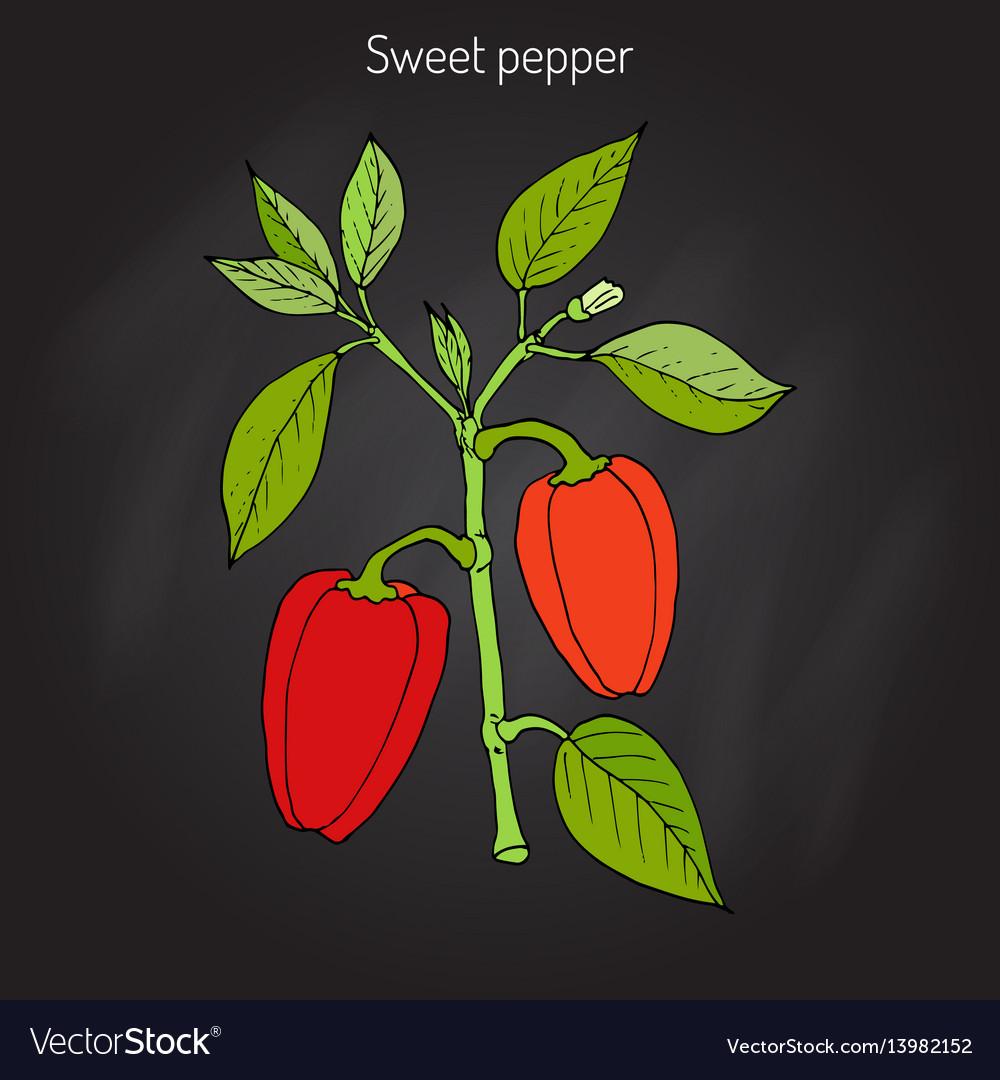 Sweet or bell pepper capsicum annuum