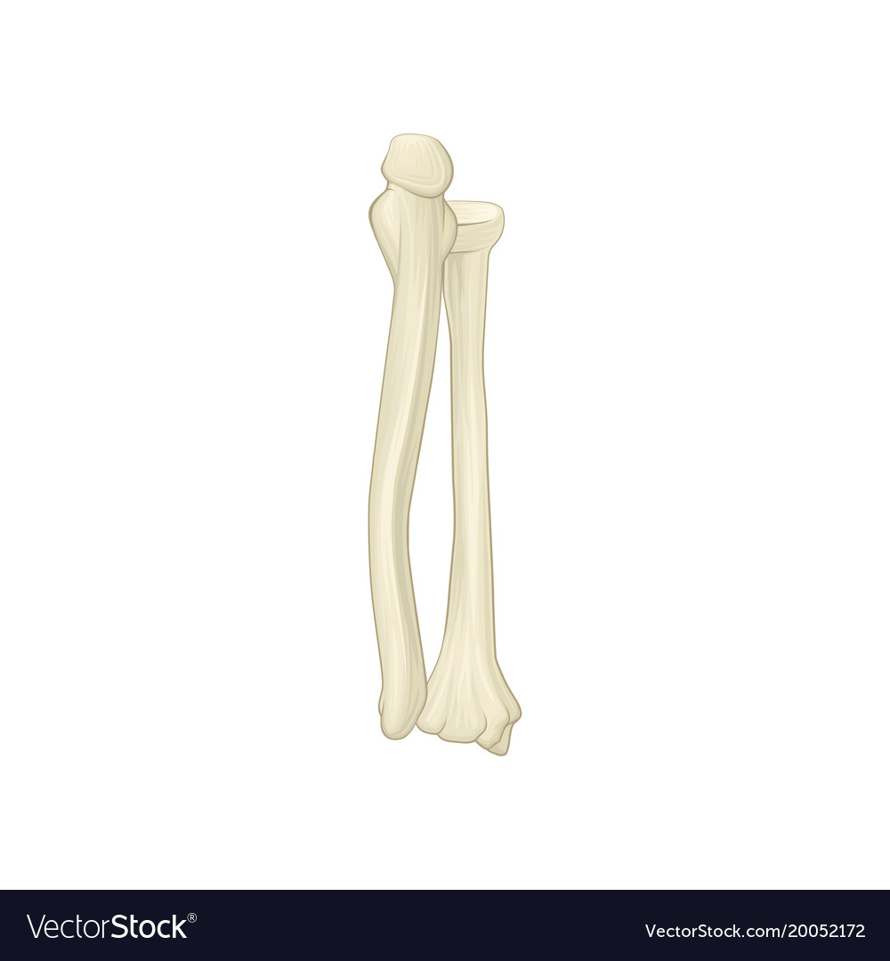 Two bones of forearm - radius and ulna part of Vector Image